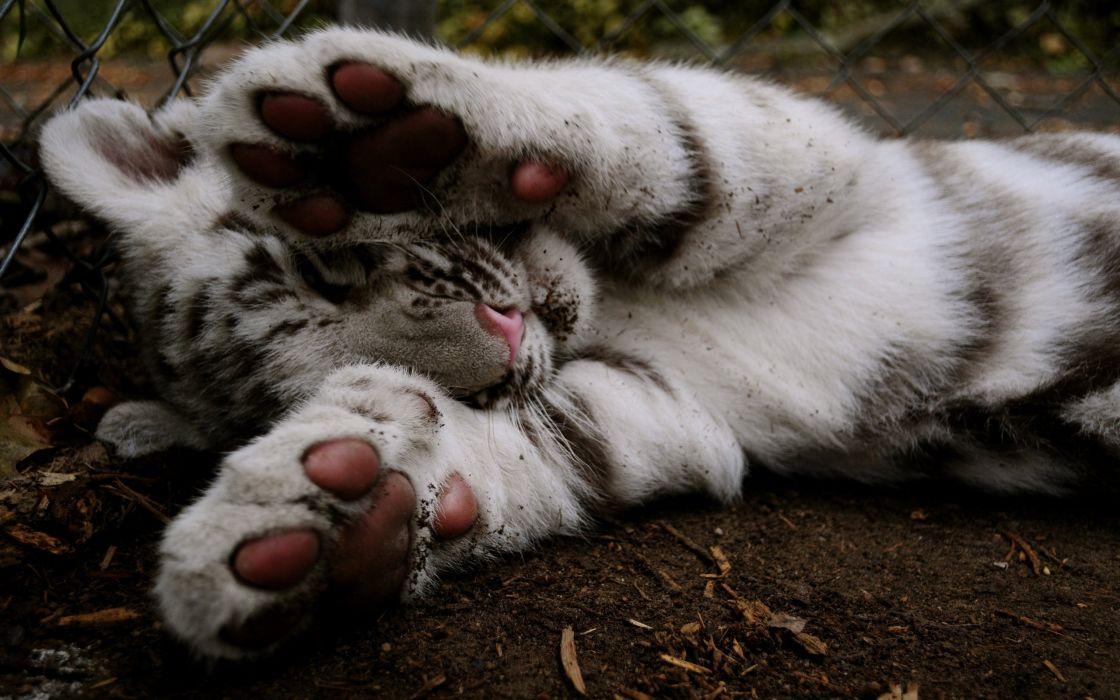 White tiger toe wallpaper