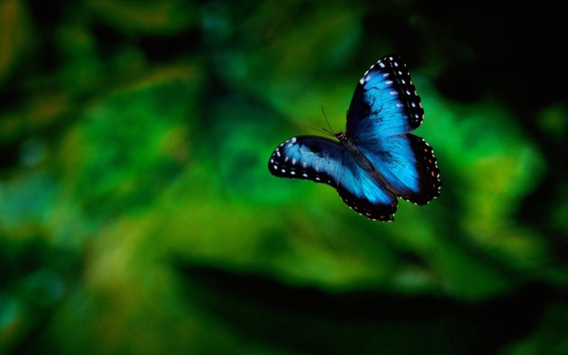 Karner blue butterfly wallpaper