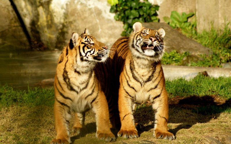 Pair of tiger wallpaper