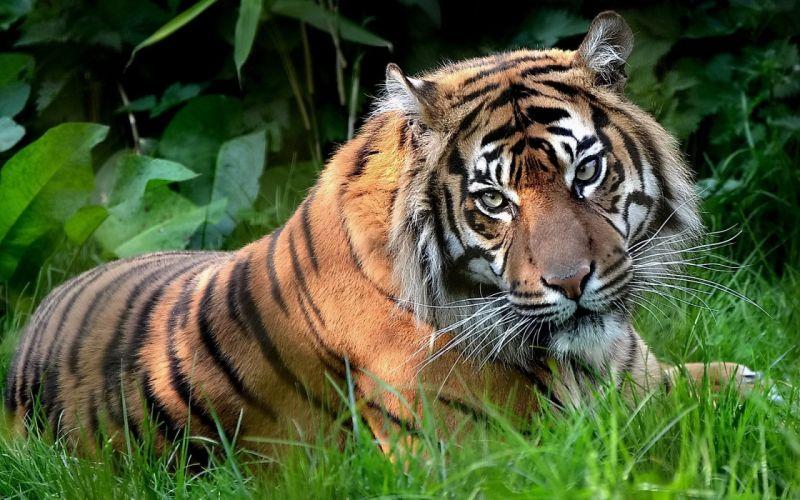 Indian tiger wallpaper