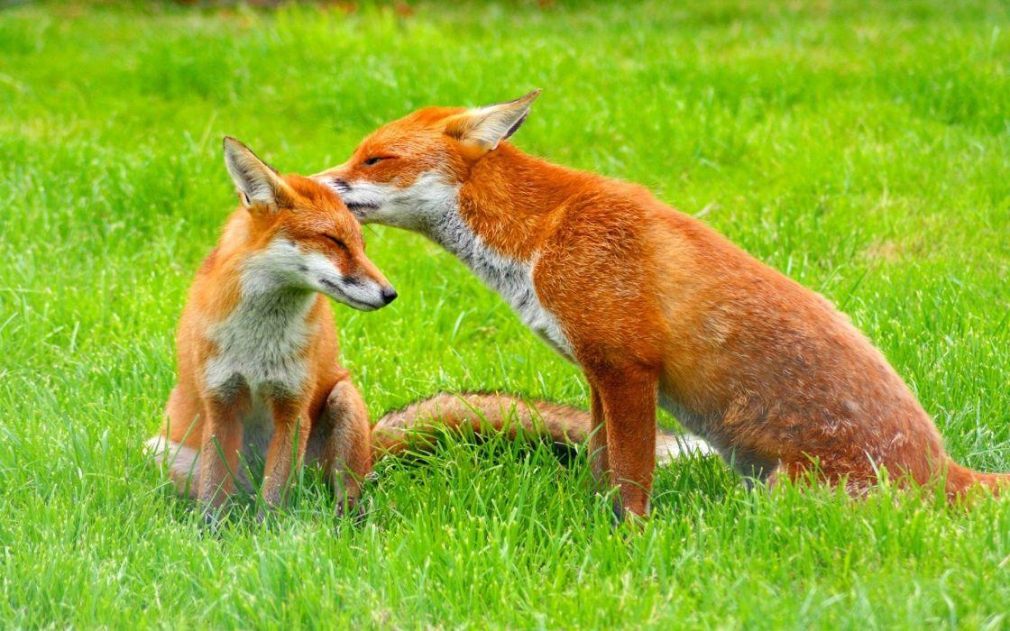 Red fox couple wallpaper