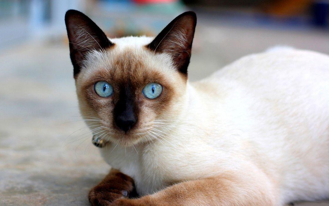 White brown cat wallpaper