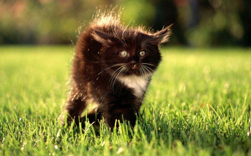 Black angry kitty wallpaper