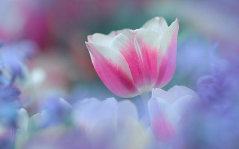 Pink white tulip wallpaper