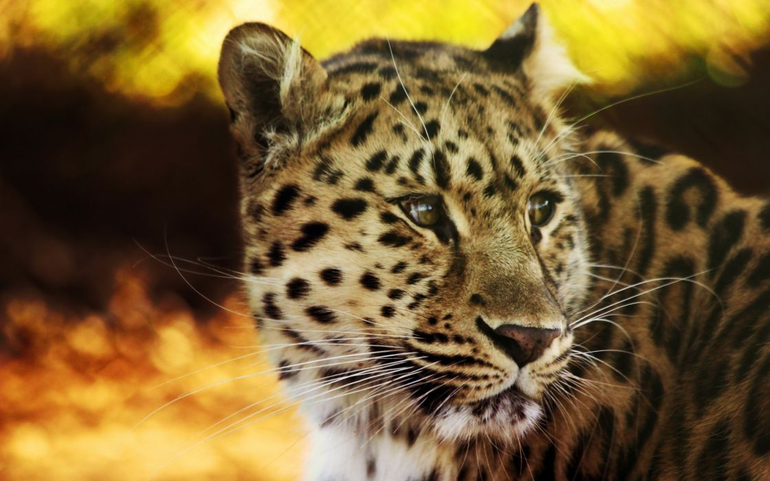 Cheeta wallpaper