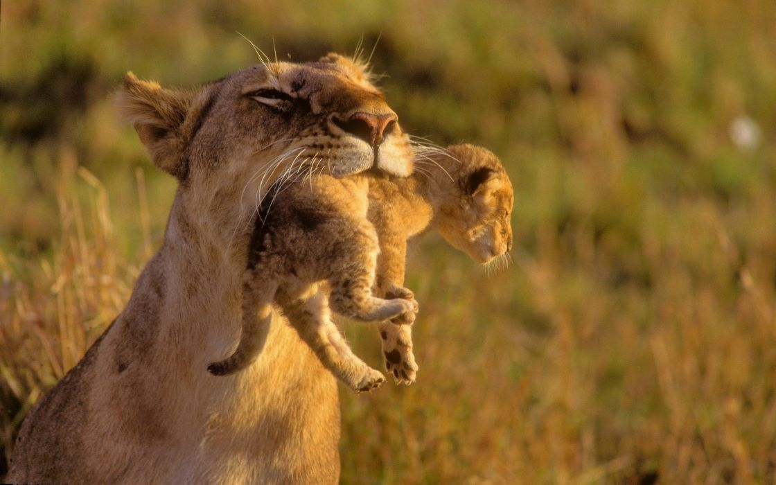 Mother lion and baby wallpaper