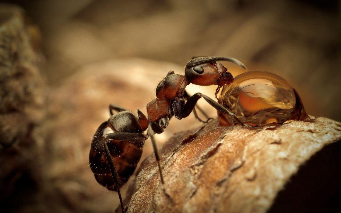 Ant macro wallpaper