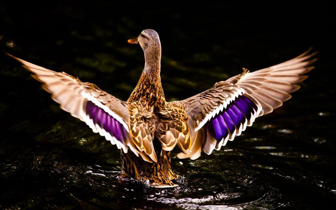 Beautiful ducks wallpaper