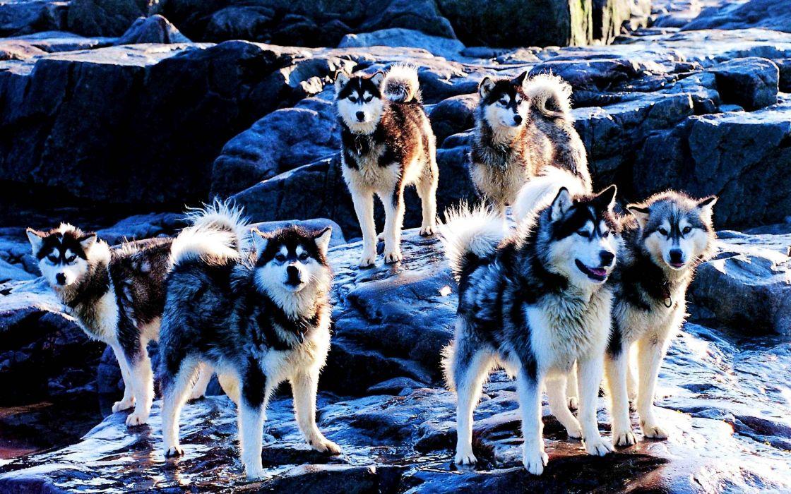 Eskimo dog canadian wallpaper