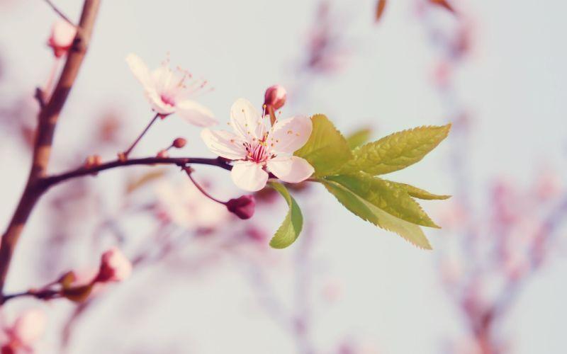 Flowers cherry blossom wallpaper