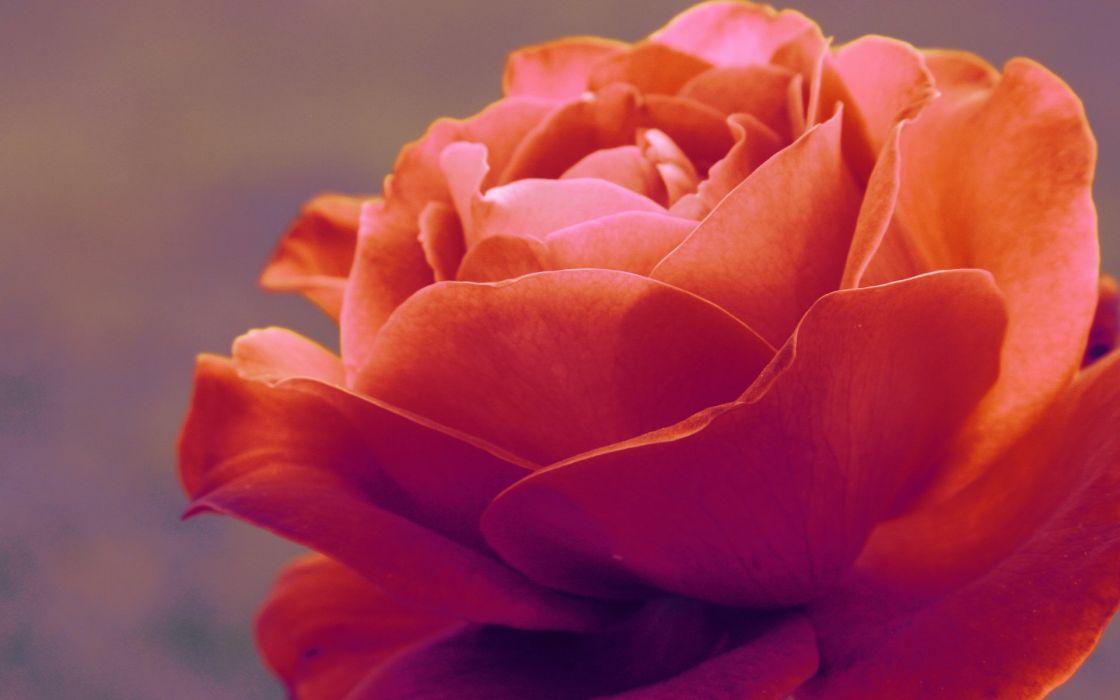 Hd orange rose wallpaper