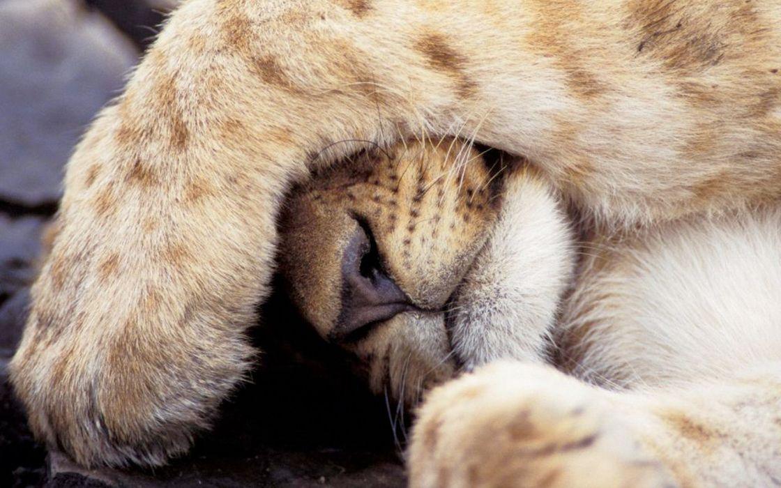 Bobcat sleeping wallpaper