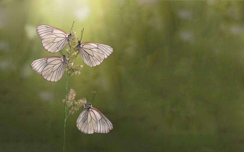 Three beautiful butterfly wallpaper