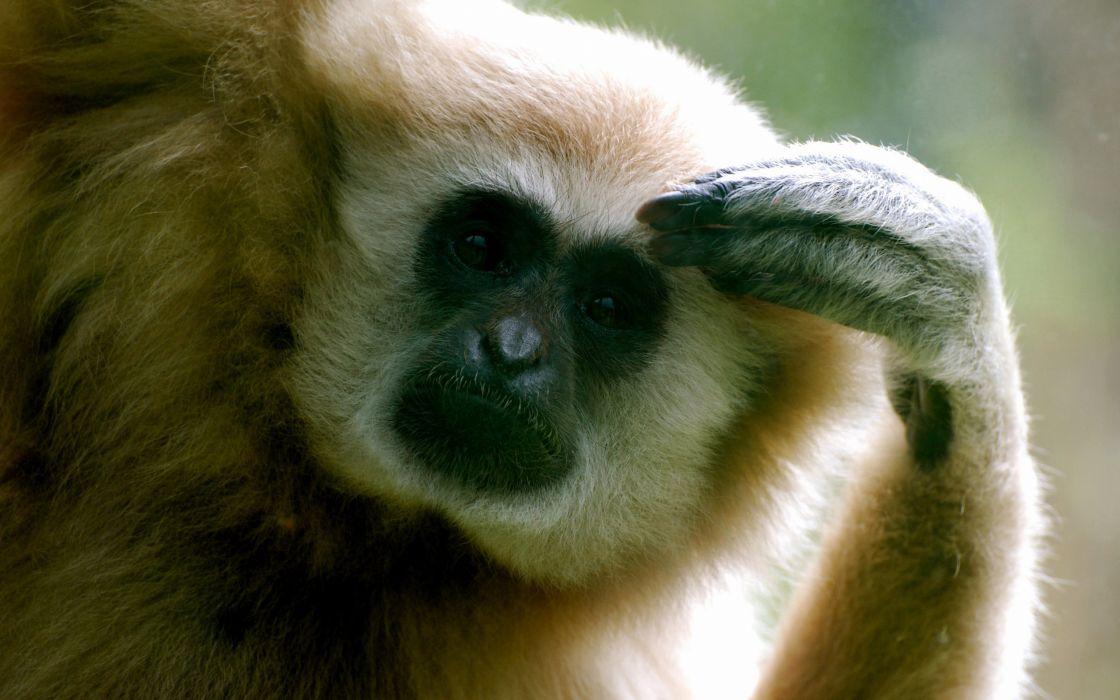 White fur monkey wallpaper