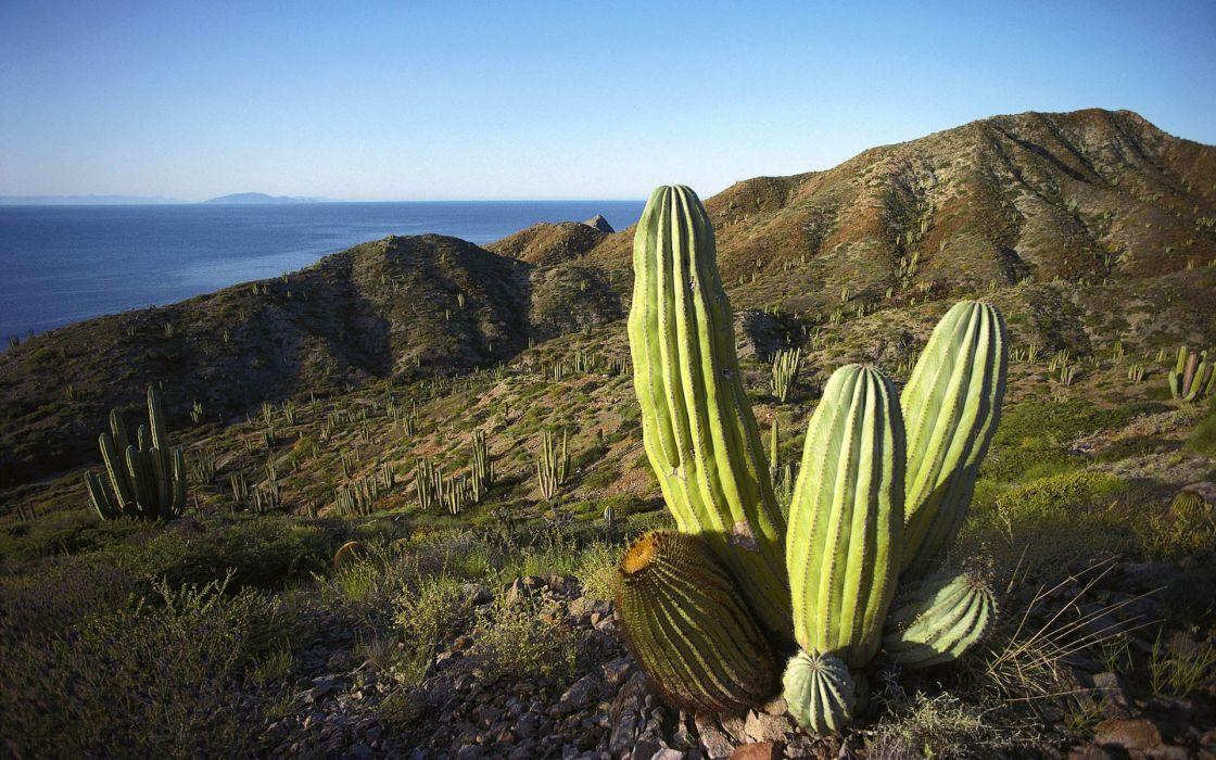 Cactus tree wallpaper