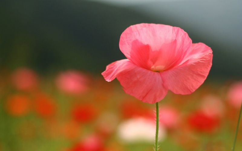 Pink flower close photography wallpaper