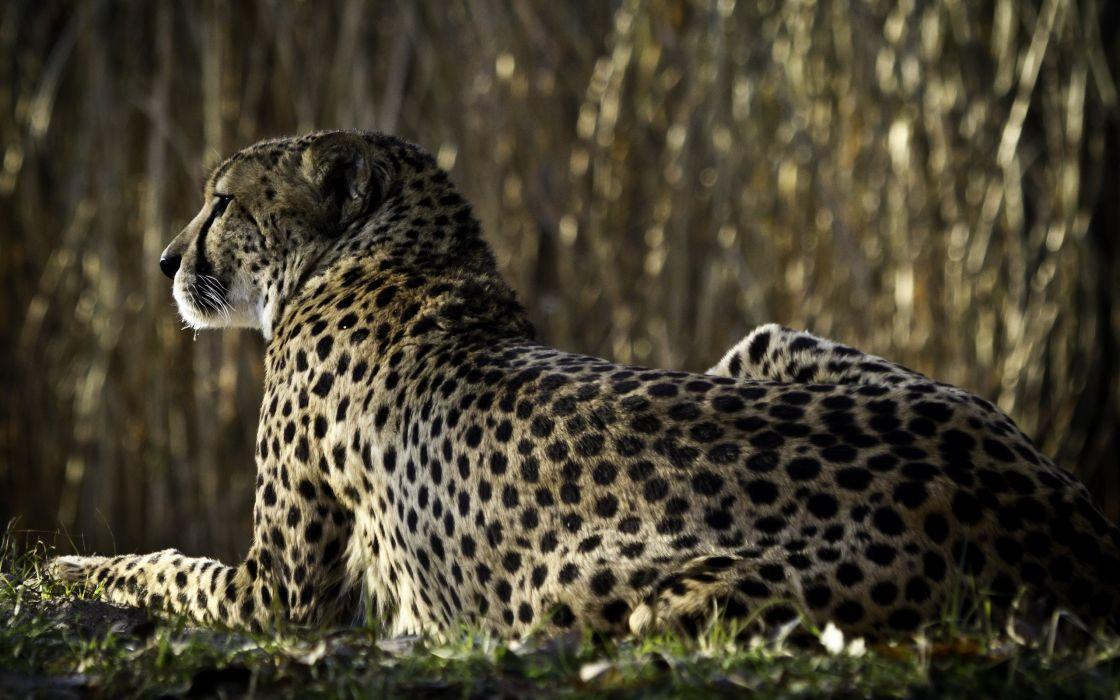 Cheetah relax wallpaper