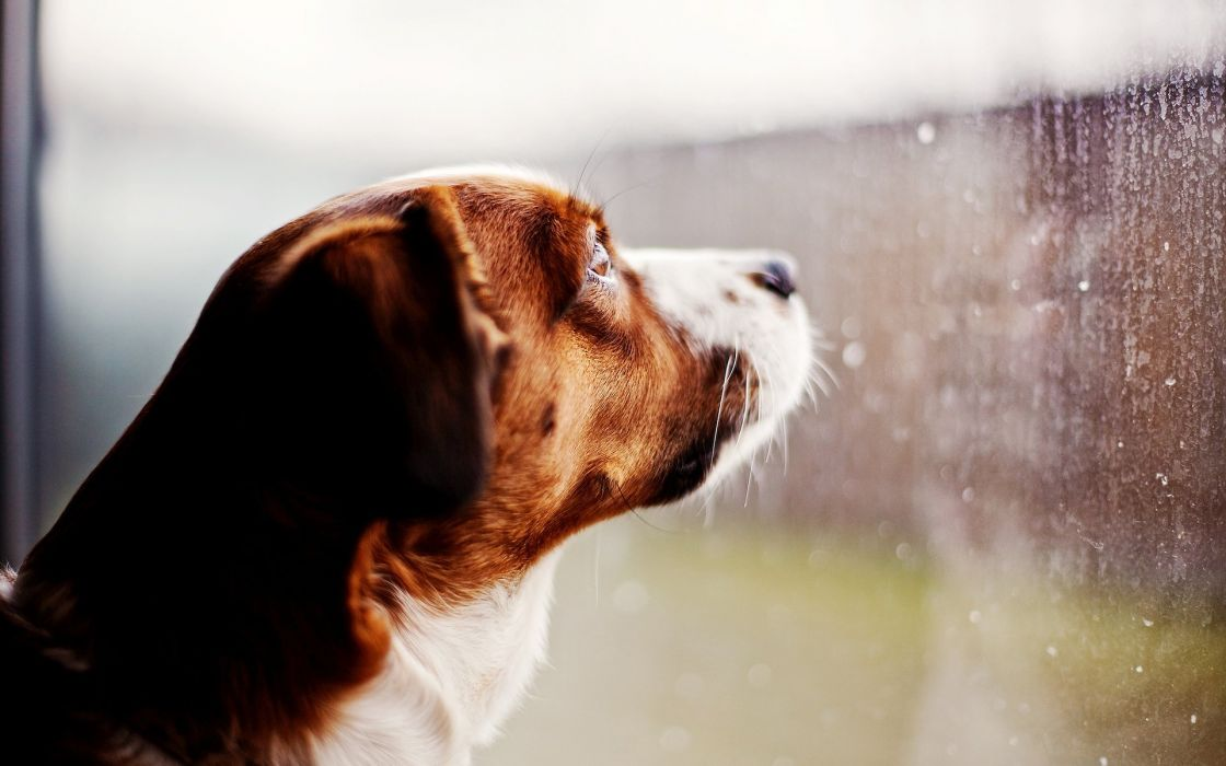Dog looking out wallpaper