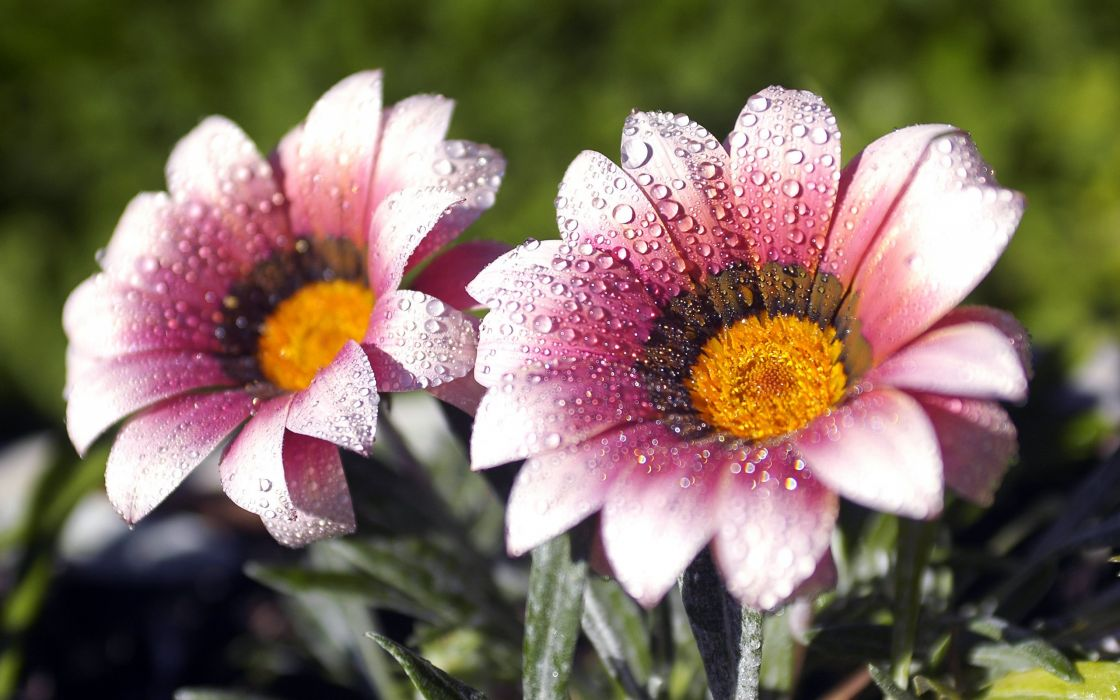 Awesome flowers morning dew wallpaper