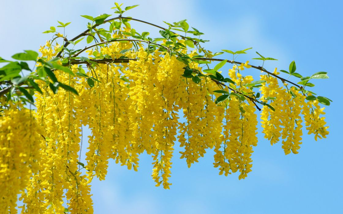 Beautiful yellow flower blossoms wallpaper