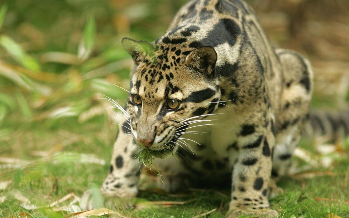 Haunting jaguar wallpaper