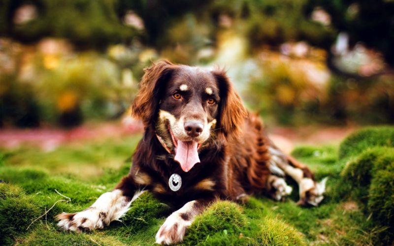 Dog brown wallpaper
