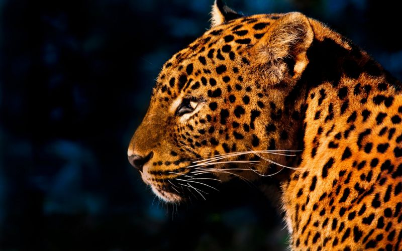 Cheeta hd close up wallpaper