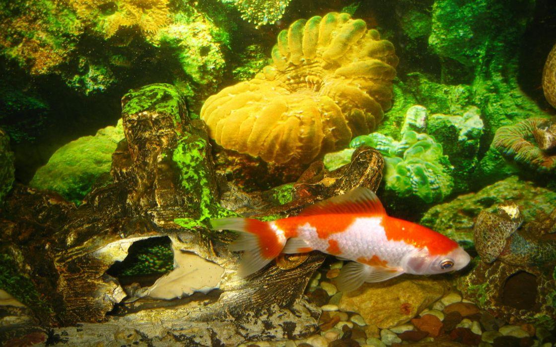 Underwater goldfish wallpaper