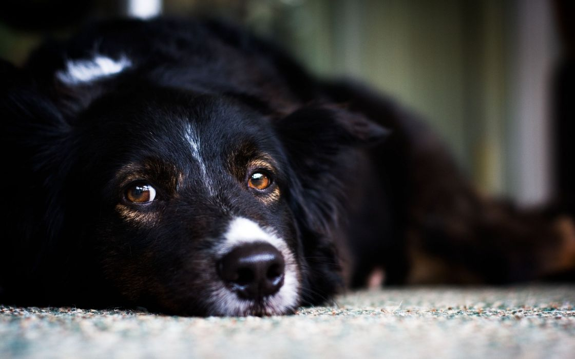 Black dogs eyes wallpaper