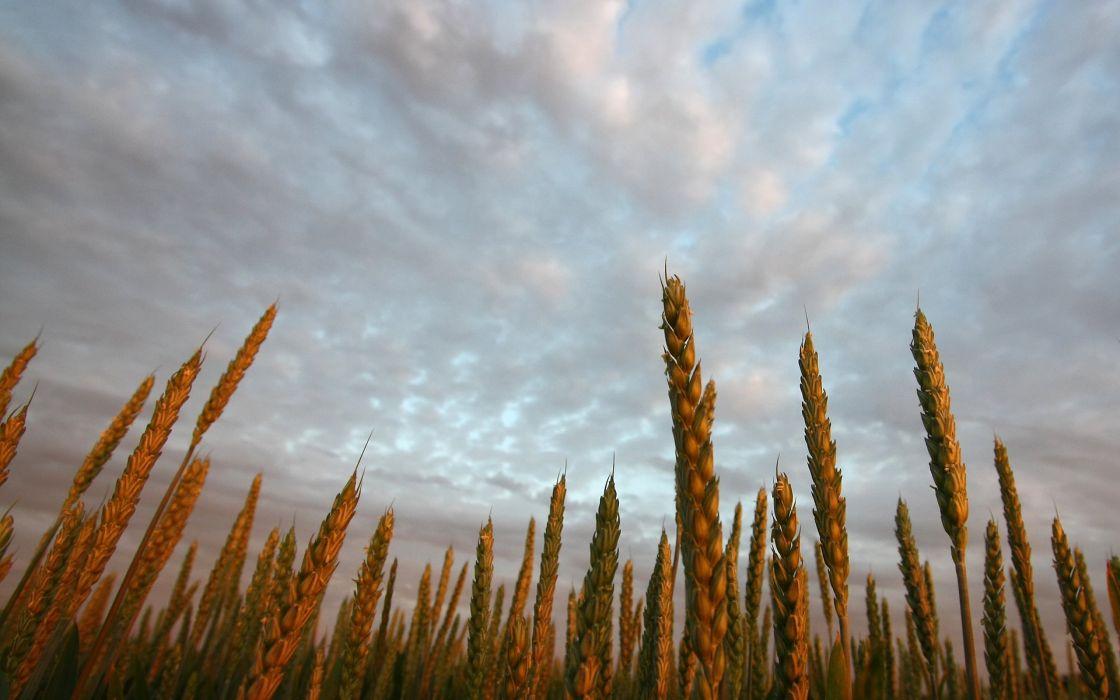 Wheat farms wallpaper
