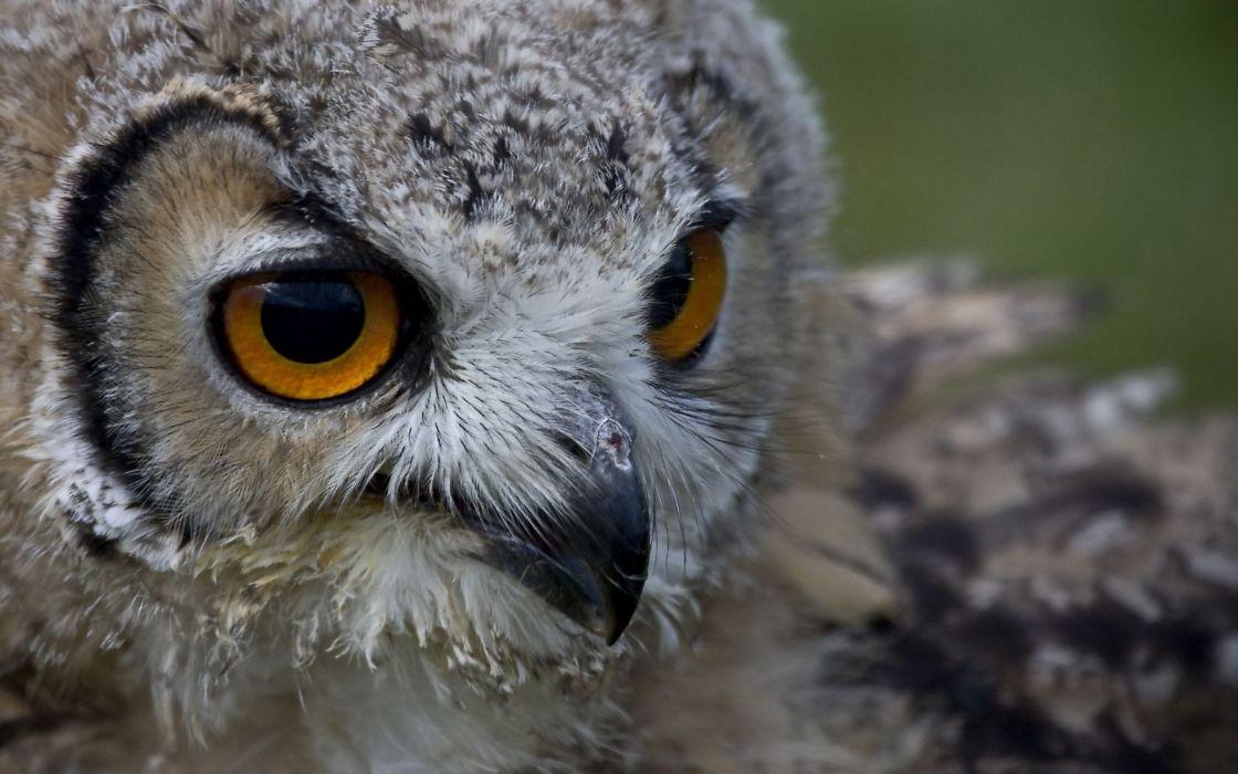 Owl baby wallpaper