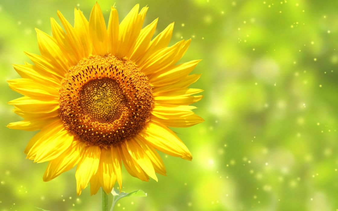 Sunflower awesome wallpaper