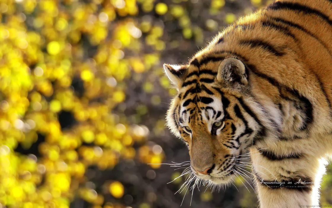 Tiger - wildlife photography wallpaper