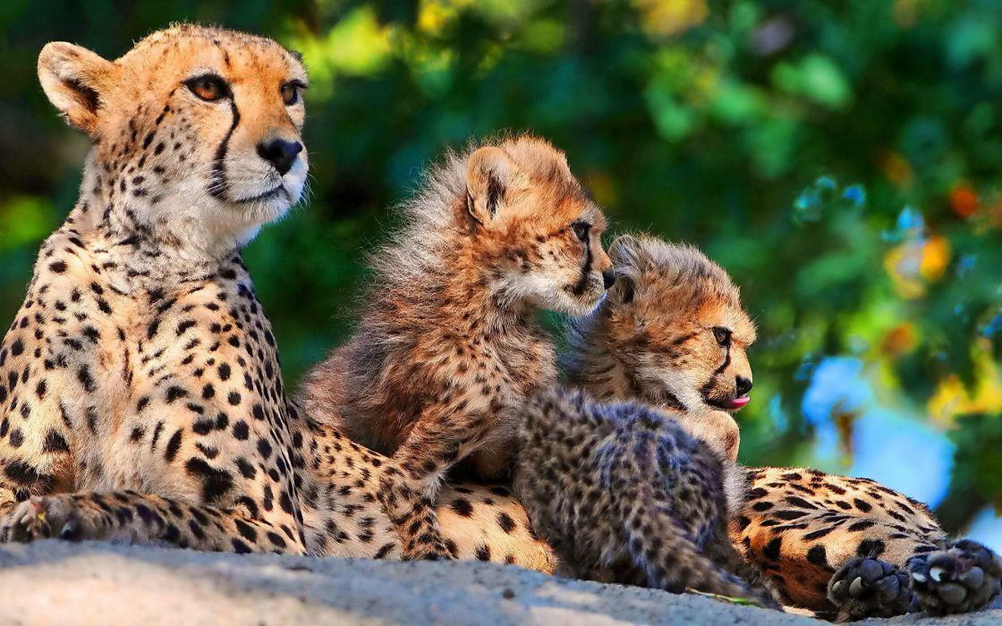 Cheetah cub wallpaper