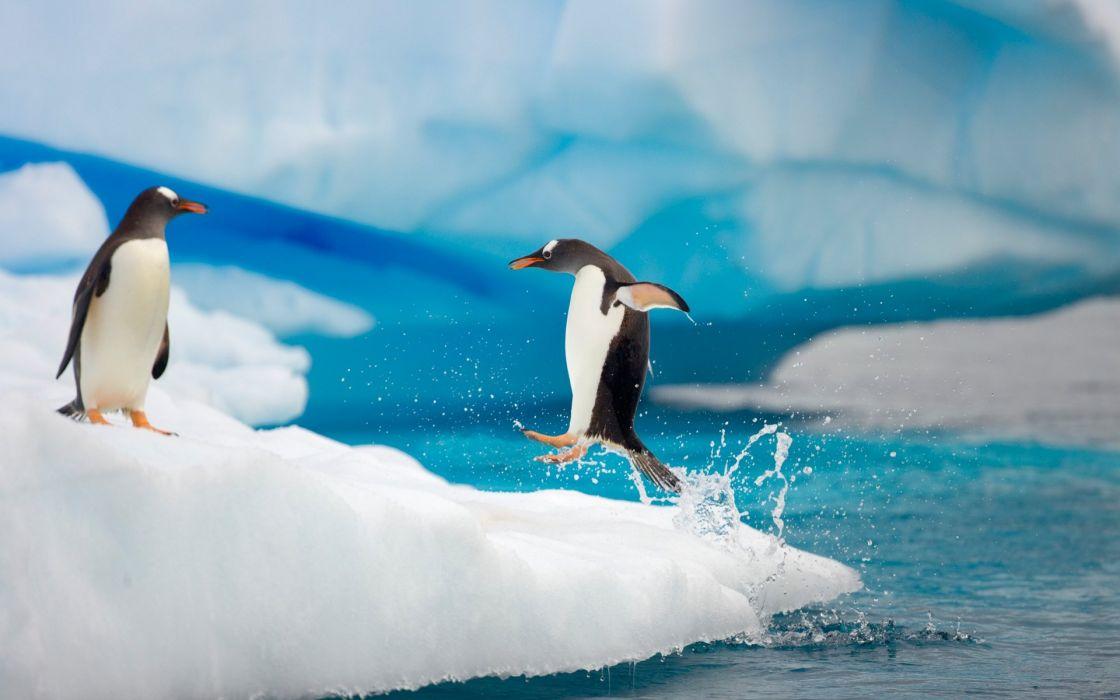 Gentoo penguins wallpaper