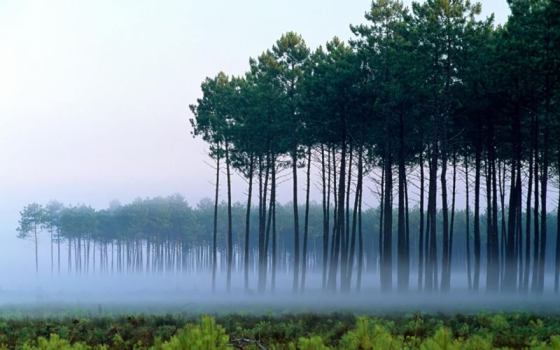 Pine forest wallpaper