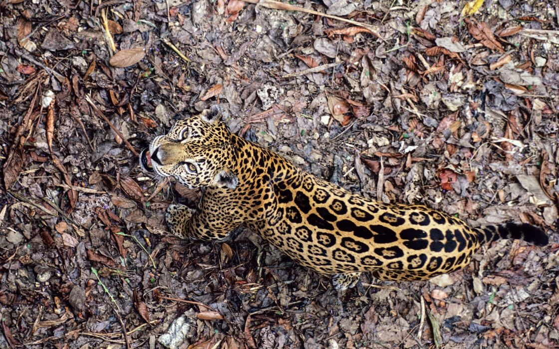 Leopard frowning wallpaper