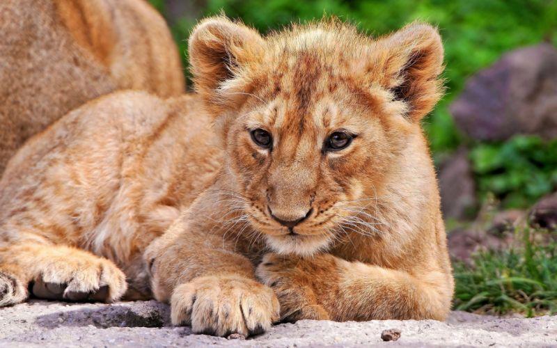 Lion cub photo wallpaper