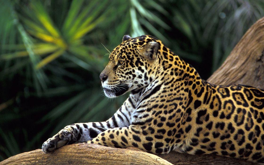 Amazon rainforest jaguar wallpaper