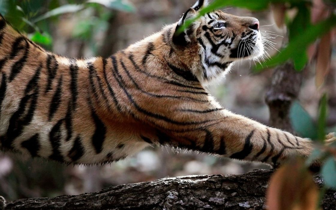 Indian tiger streched wallpaper