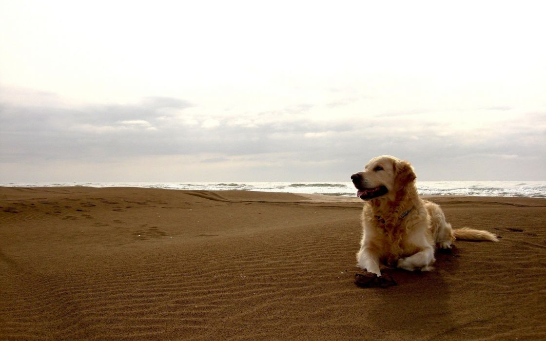 Dog at beach wallpaper