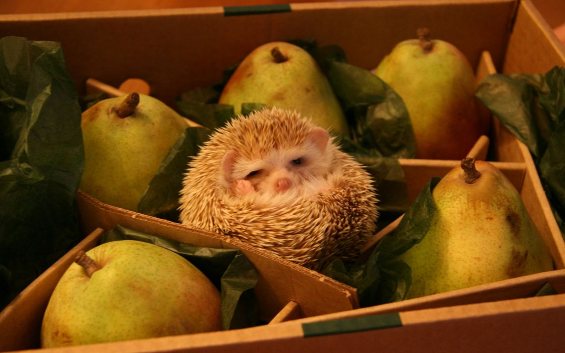 Hedgehog pears wallpaper
