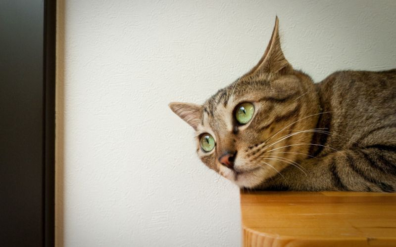 Cat on table wallpaper