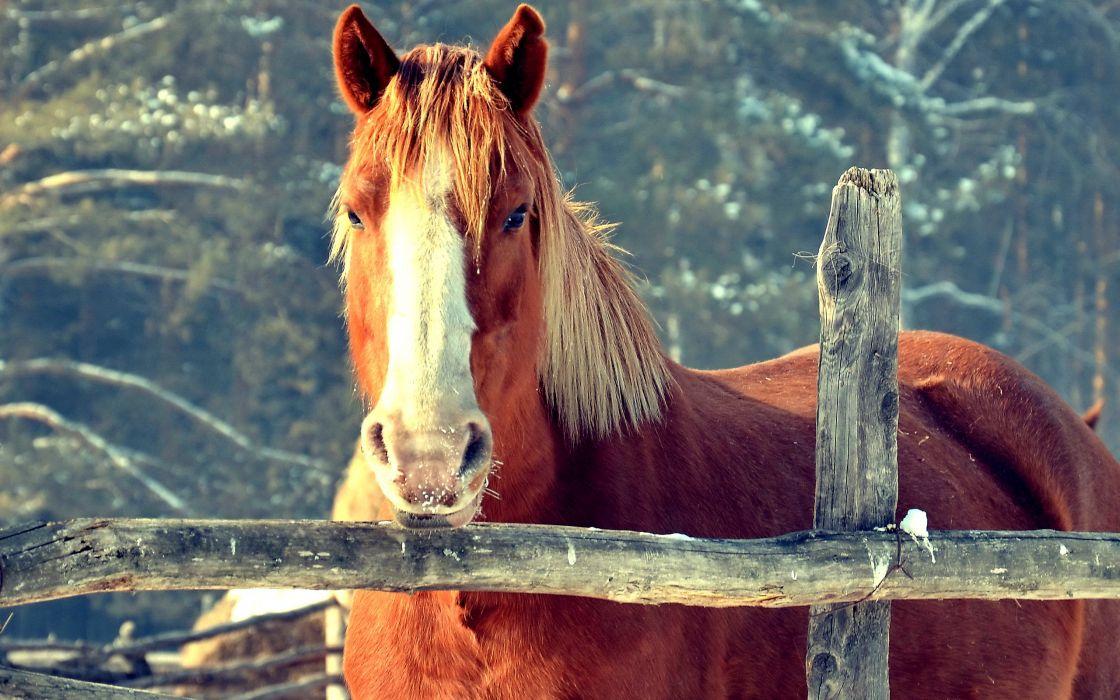 Brown horse wallpaper