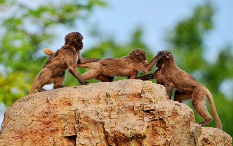3 Crazy monkeys wallpaper