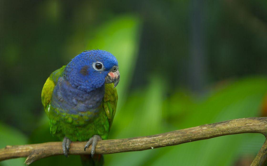Blue green parrot wallpaper
