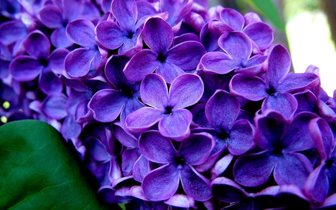 Lavender hd flowers wallpaper