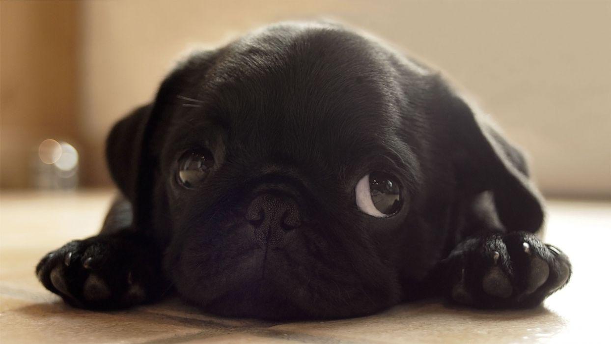 Black animals dogs pugs puppies pug wallpaper
