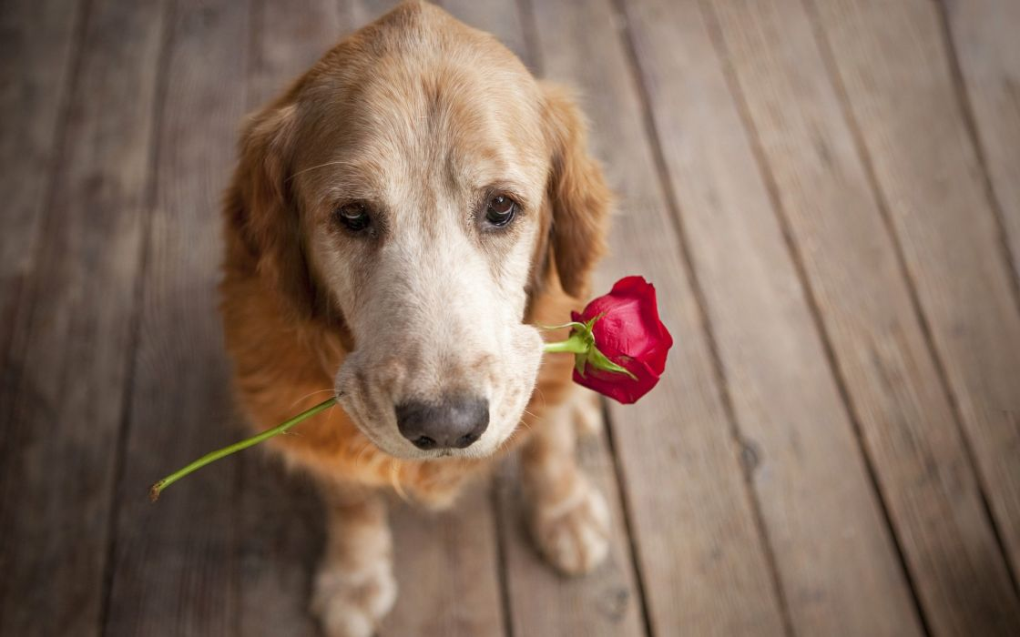 Dog carrying a rose love puppy pet wallpaper