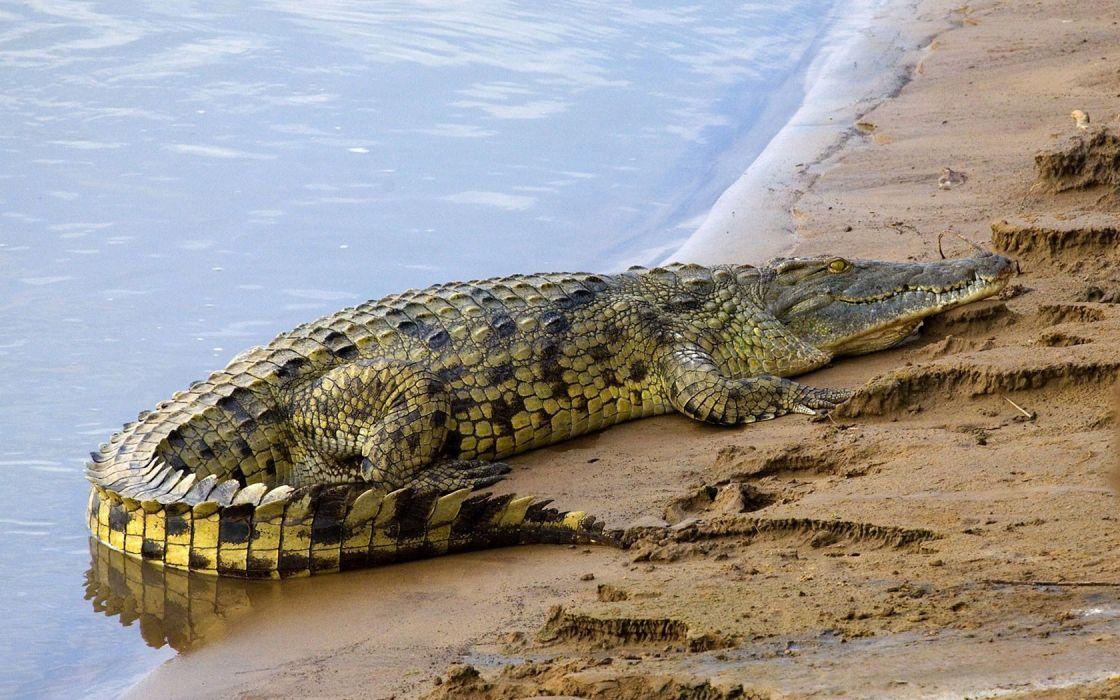 American salt water alligator wallpaper